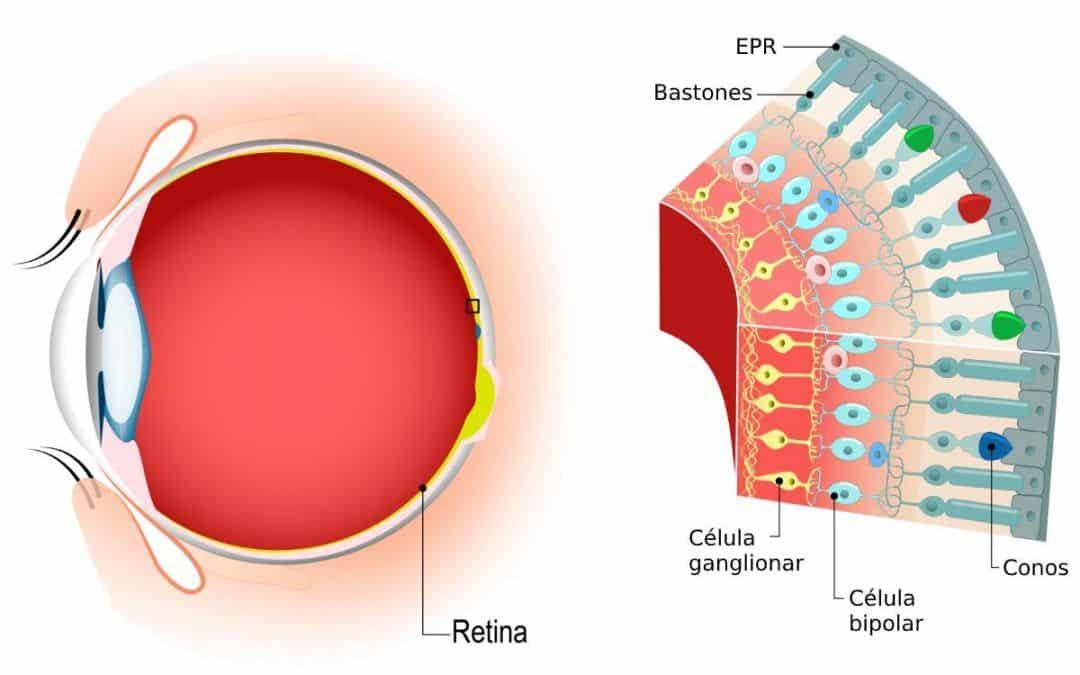 Epitelio pigmentario de la retina