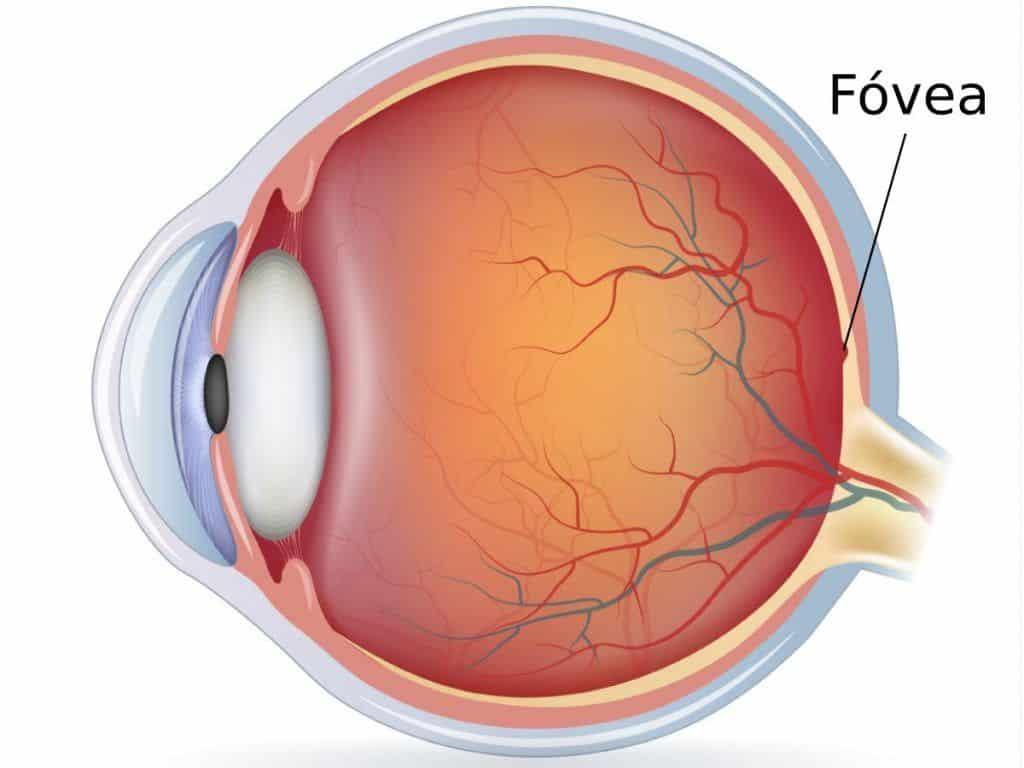 fovea del ojo