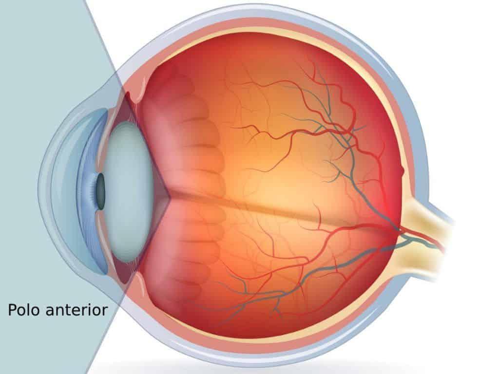 polo anterior del ojo